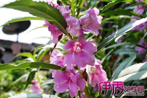 凤仙花根茎叶结构图